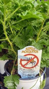 mosquito plants growing mosquito plant citronella in a pot with instructions