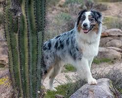australian shepherd lovers 607 best australian shepherd images on pinterest aussies