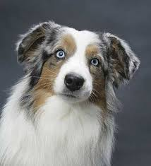 australian shepherd dog for sale miniature american shepherd and miniature australian shepherd