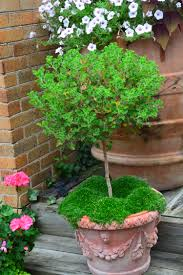 Eugenia Topiary Container Gardening Dirt Simple