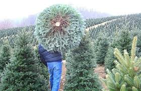 live christmas trees artificial christmas trees live christmas trees bob vila