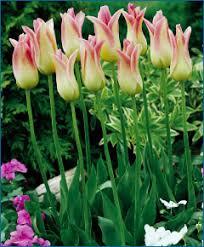 selections from the van engelen flower bulbs catalog elegant lady
