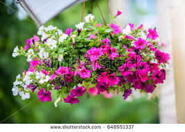 Hanging Flowers Free Stock Photo Of Colorful Petunia Flowers Freerange Stock