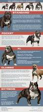 american pit bull terrier breed standard american bully standards visual ly