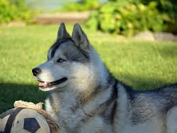husky alaskan malamute dogs animals