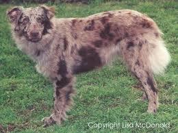 australian shepherd jacksonville red merle no white australian shepherds pinterest australian