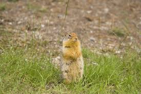 ground squirrel control and treatments for the home yard and garden