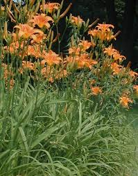 day lilies orange day hemerocallis fulva