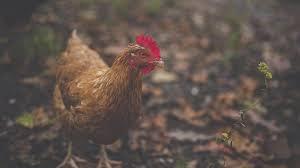 Guide To Raising Backyard Chickens by Feeding Chickens U2013 Poultryone Guide To Raising Backyard Chickens