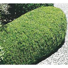 shop 3 63 gallon winter gem boxwood foundation hedge shrub l3447