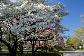 trees are also native plants dogwood trees history facts and growing tips fast growing