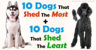 american eskimo dog vs keeshond the best way to manage dog shedding