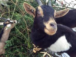 taking down your tree feed it to a colchester goat vermont