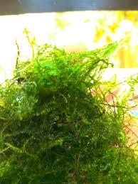 Java Moss Aquascape Jual Java Moss Bahan Tanaman Air Aquascape Di Lapak Ondofish