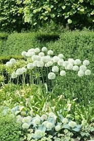 allium mont blanc ornamental