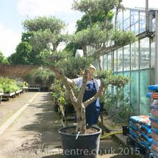 Topiary Cloud Trees - olive trees for sale from palm centre