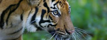 tiger species wwf