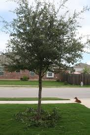 pruning live oaks can be done now if done right