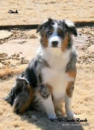 australian shepherd in spanish australian shepherd blue merle puppy love pinterest blue