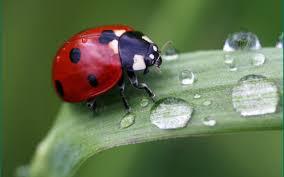 desktop wallpaper ladybug h609228 animals hd images