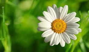 white flower file white flower hqfx jpg brosnan 4016x2358px