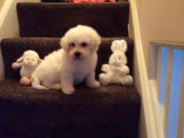 bichon frise jack russell for sale bichon frise dogs and puppies for sale in the uk pets4homes