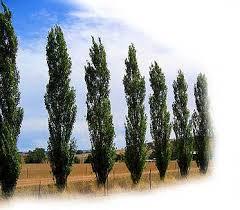 parkwood pines wholesale farm tree nursery lombardy poplar