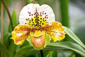 Yellow Orchid Exotic Yellow Orchid Flower With Tropical Plants Stock Photo