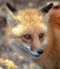 red fox in the backyard u2014 in my backyard