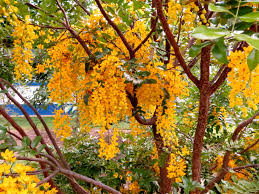 queensland native plants cassia sp paluma range golden shower kuranda conservation