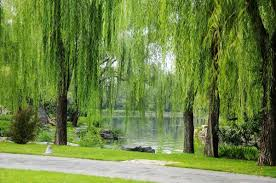 top 10 sacred trees landscape architects