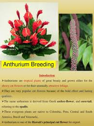 plants native to brazil anthurium breeding ppt by s y chandrashekar ploidy pollen