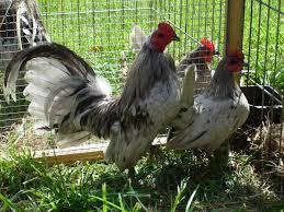 Best Backyard Chicken Breeds by Chicken Breeds Bantam With Bantam Backyard Chicken Breeds