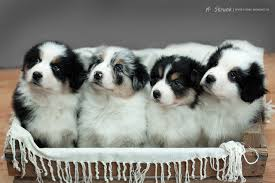 australian shepherd black and white 71 most cute australian shepherd puppies pictures and photos
