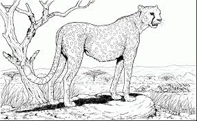 cheetah coloring pages to print cheetah coloring page amusing