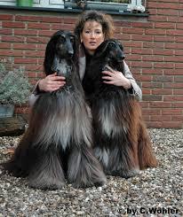 afghan hound black hair happenz afghans