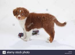 australian shepherd 5 wochen with puppy red tri stock photos u0026 with puppy red tri stock images