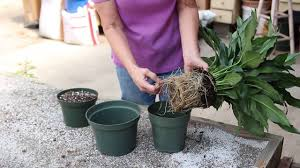 peace lily how to repot a peace lily youtube