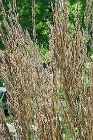 pase seeds ornamental grass seed calamagrostis brachytricha