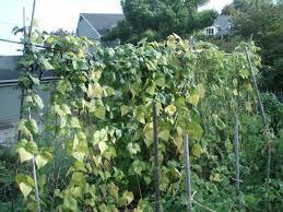 green beans pan pals