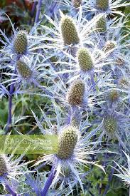 gap gardens ornamental thistle eryngium zabelii jos eijking
