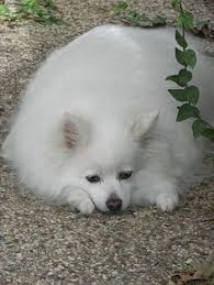 american eskimo dog varieties the non sporting group includes a huge variety of dogs do you