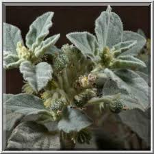 photo 1817 03 plant dyer u0027s croton giradol chrozophora