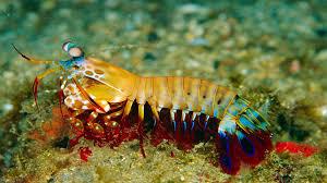 peacock mantis shrimp animal profile