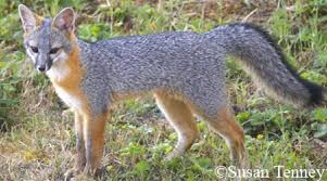 Tennessee wildlife images Tennessee watchable wildlife gray fox hunted jpg