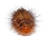 Rug Bugs Varied Carpet Beetle Wikipedia