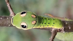 bbc earth six ways animals use fake eyes