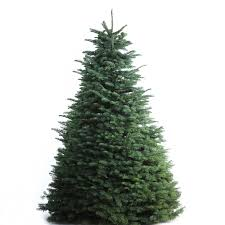 shop 7 8 ft fresh noble fir tree at lowes
