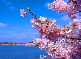 lotus flower cherry blossoms