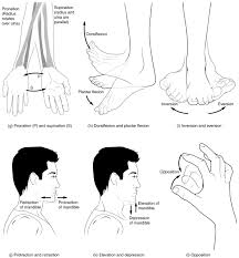 Anatomy And Physiology Place Types Of Body Movements Anatomy And Physiology